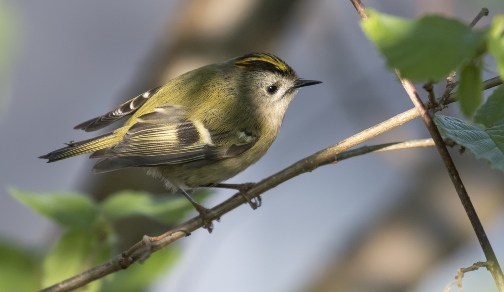 Goldcrest Light 21st April.jpg
