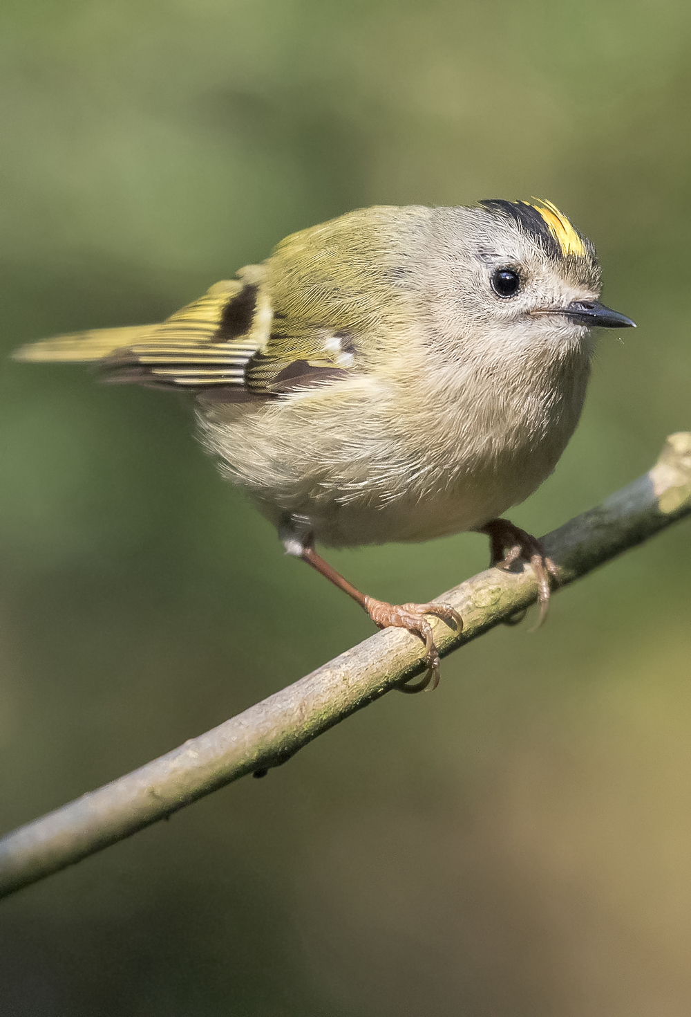 Goldcrest Portrait 21st April.jpg