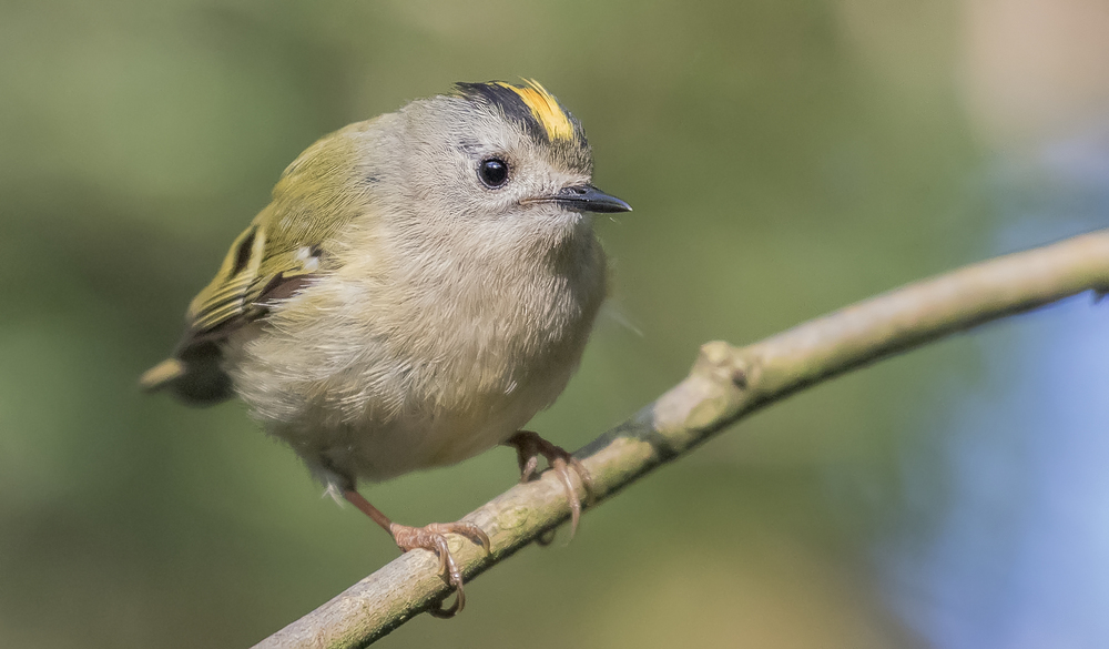 Goldcrest 21st April.jpg