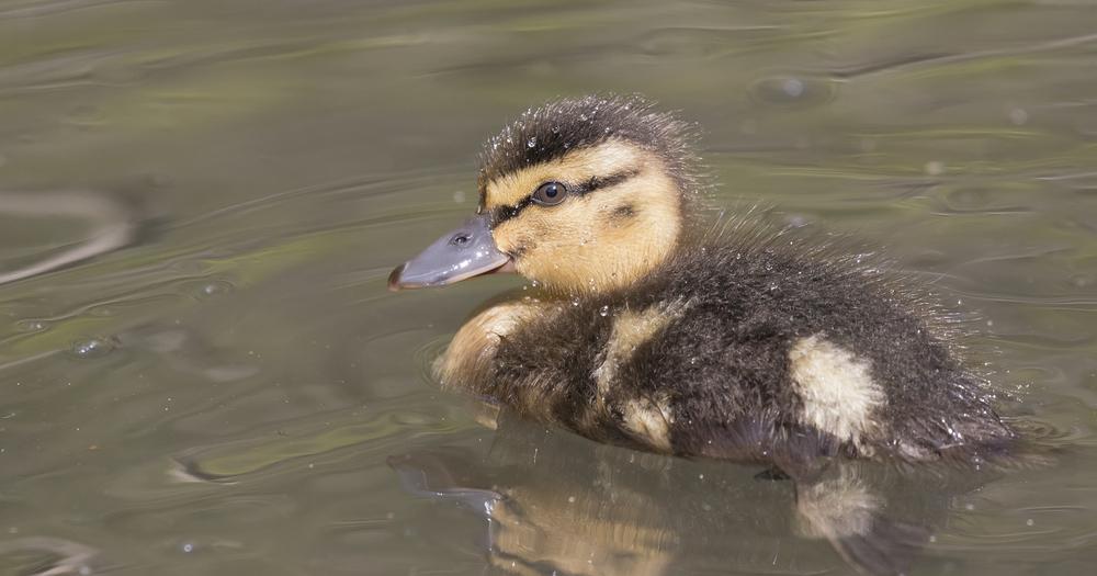 Mallard Chick 23rd April.jpg
