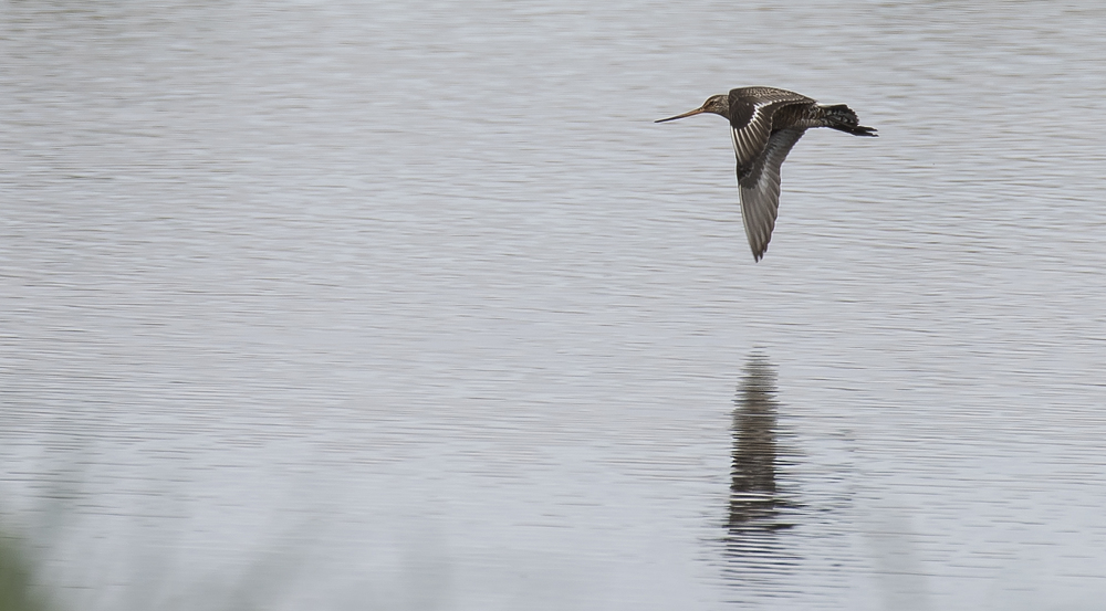 Hudsonian Godwit Flight 2 25th April.jpg
