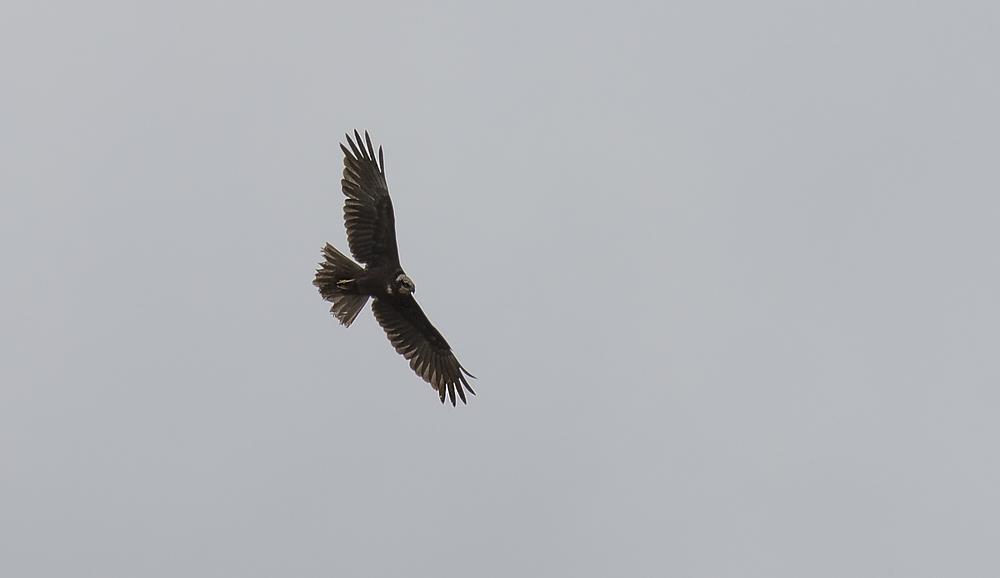 Marsh Harrier 25th April.jpg