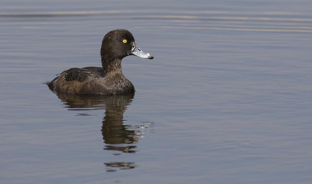 Female Tufted Duck 23rd April.jpg