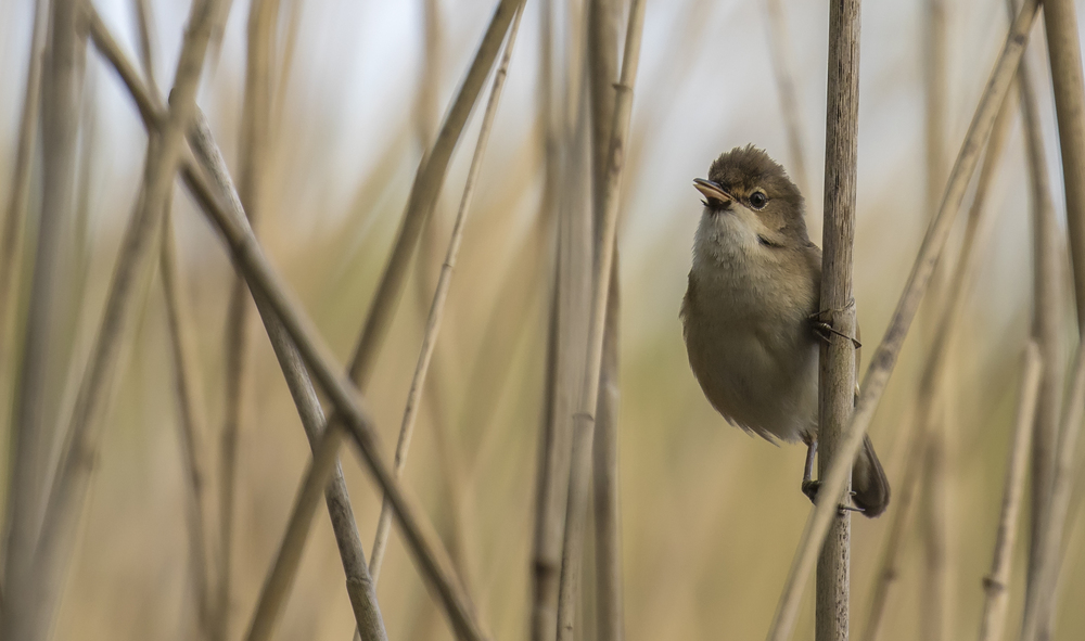 Reed Warbler Chin Tufts 28th April.jpg
