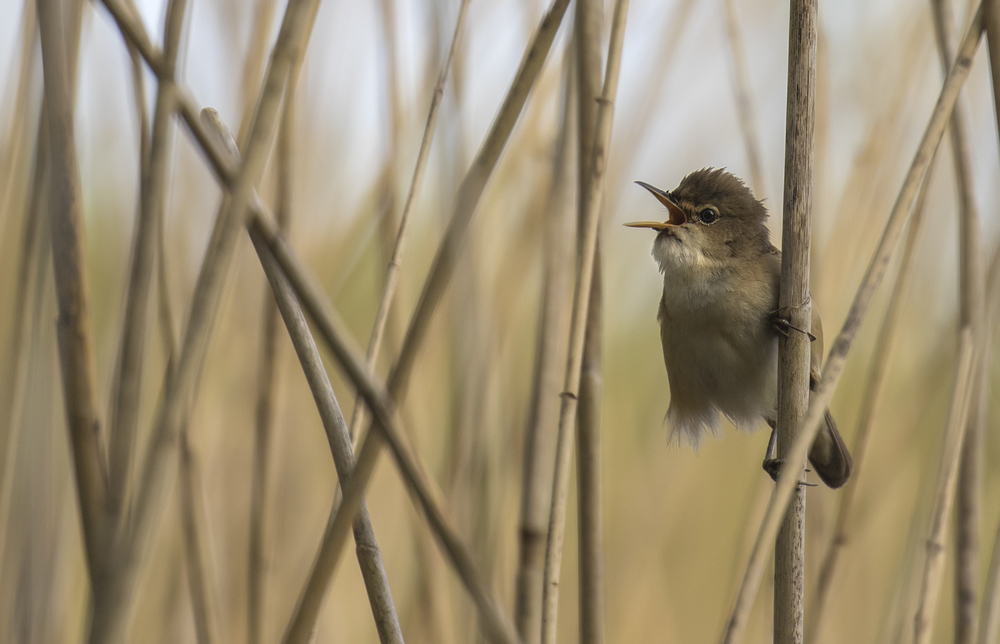 Reed Warbler 28th April.jpg