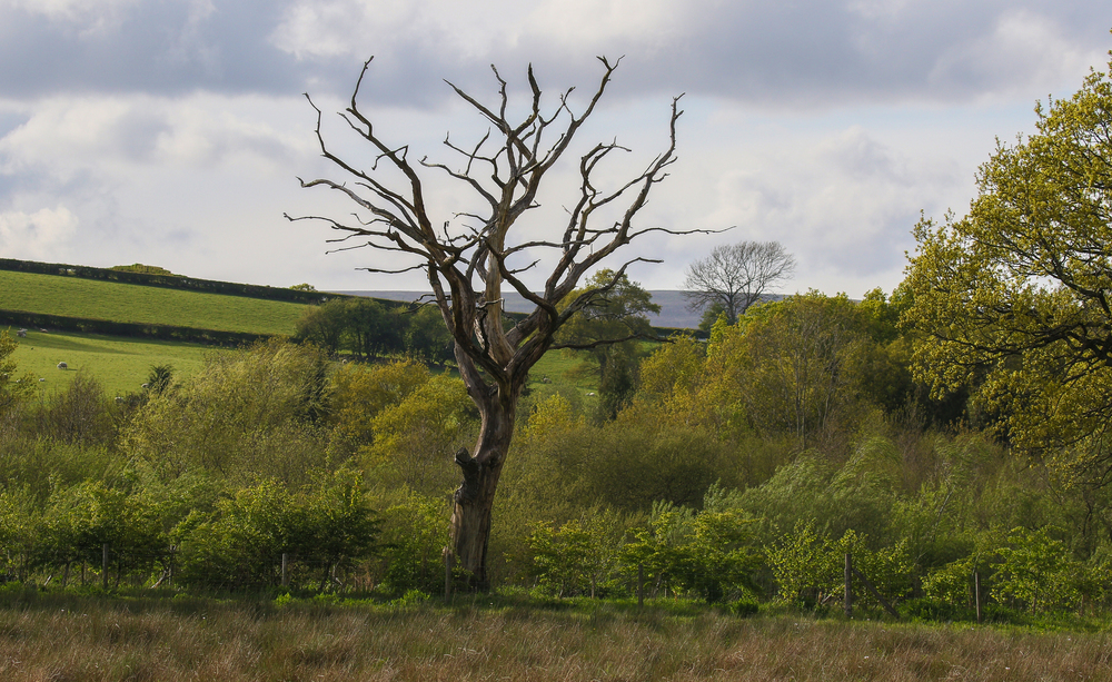 Iconic Llandegfedd Tree 28th April.jpg