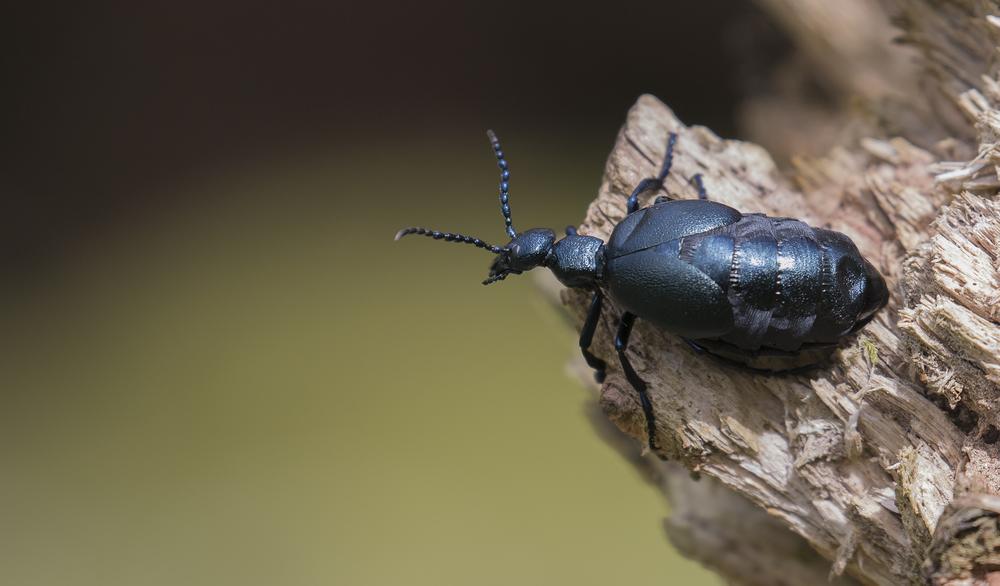 Female Oil Beetle Log 30th April.jpg