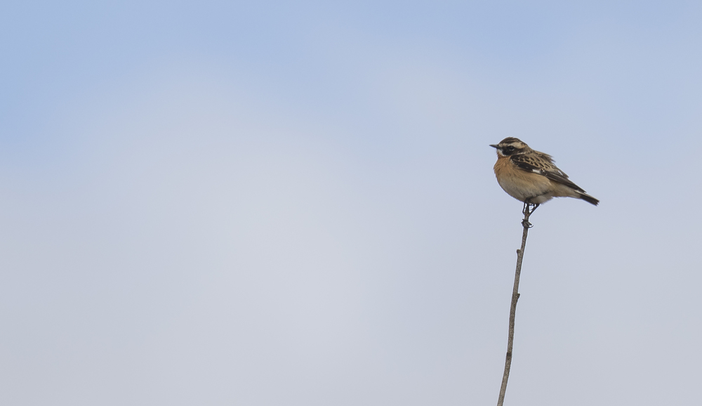 Whinchat 1st May.jpg