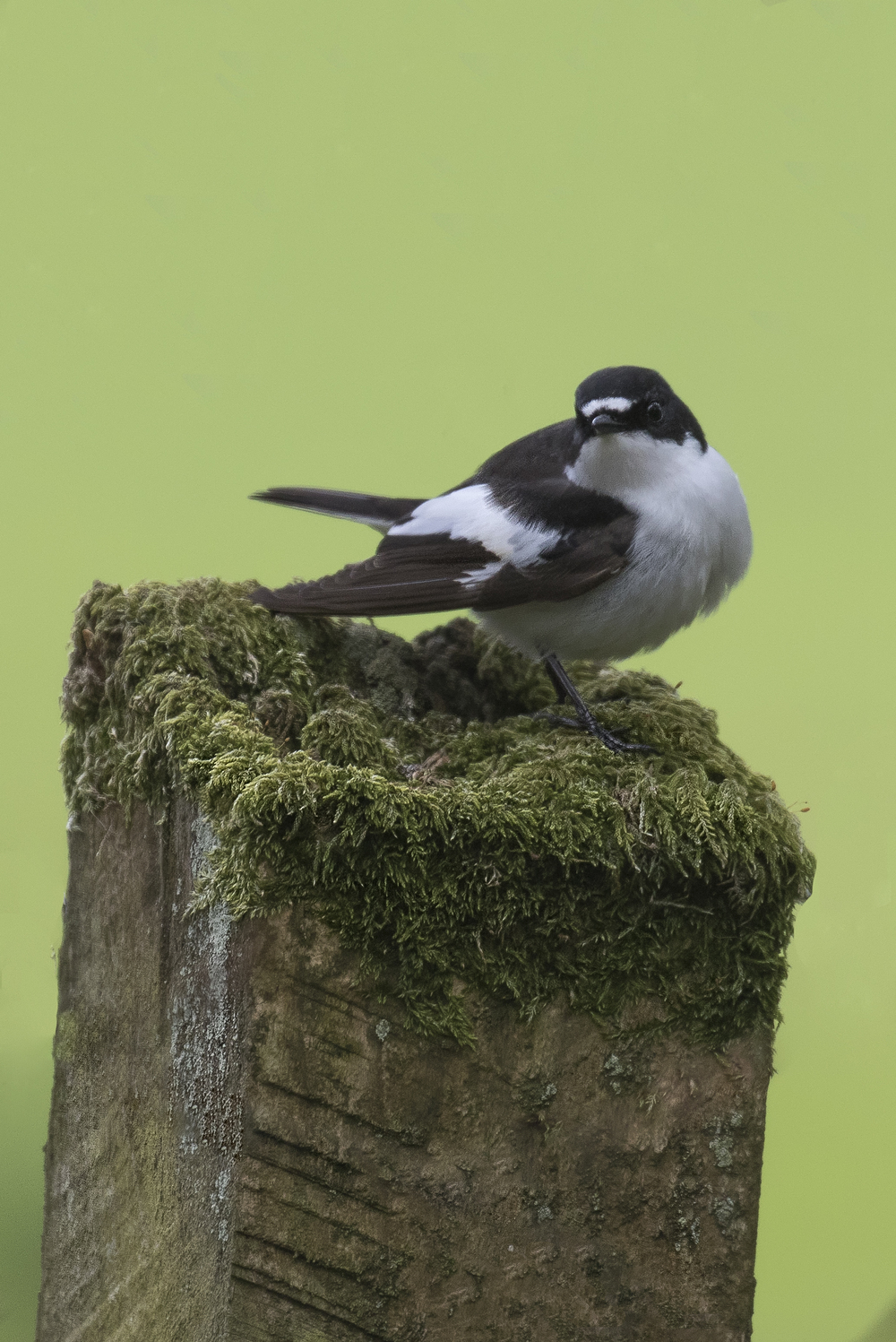 Male Pied Flycatcher 1st May.jpg