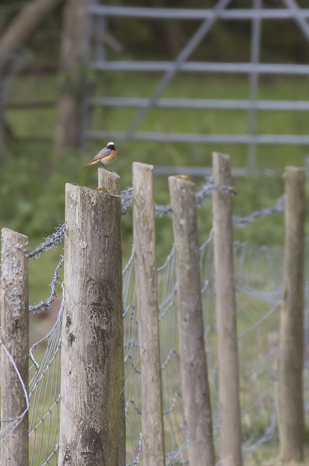 Redstart on post 1st May.jpg