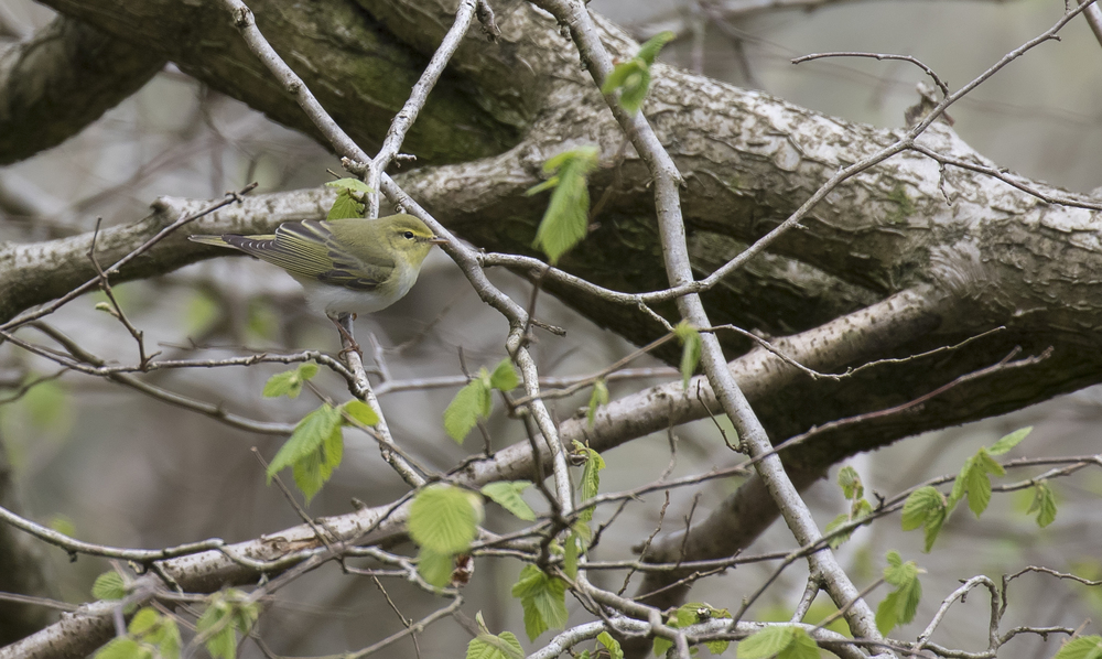 Wood Warbler 1st May.jpg
