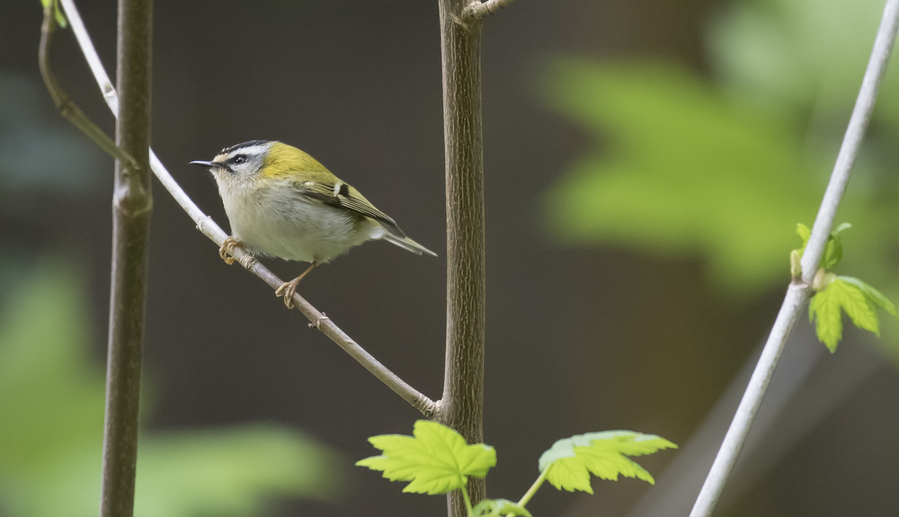 Firecrest 1st May.jpg