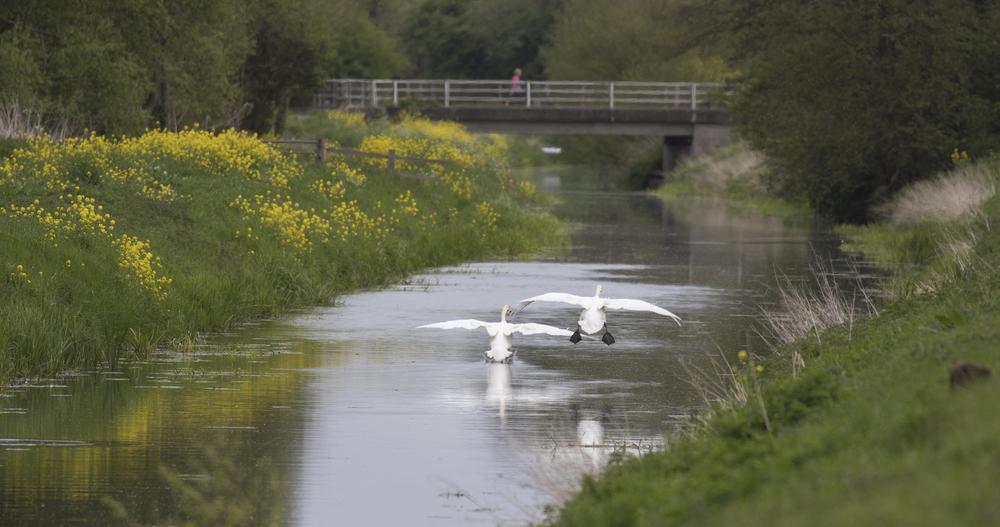Swan Scene 4th May.jpg