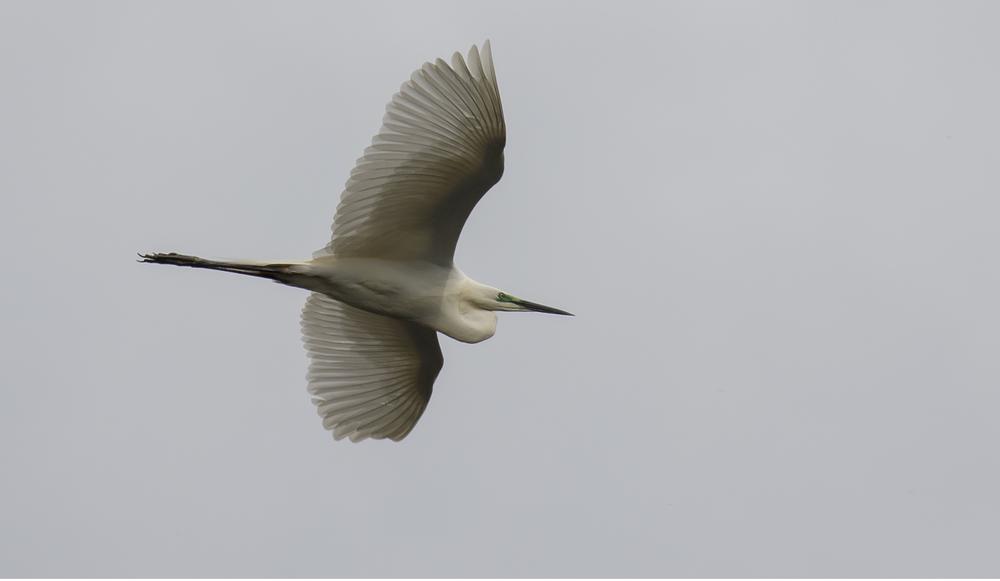 Great White Egret 2 4th April.jpg