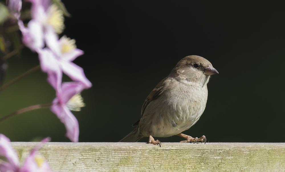 Female House Sparrow 8th May.jpg