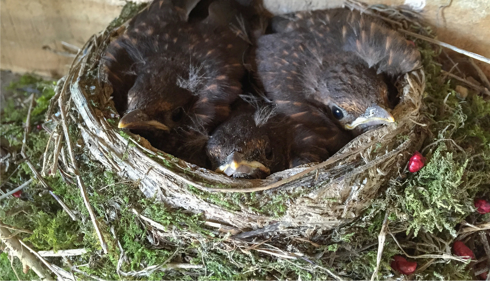 Blackbird Chicks 9th May .jpg