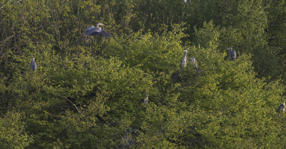 Heronry 9th May.jpg