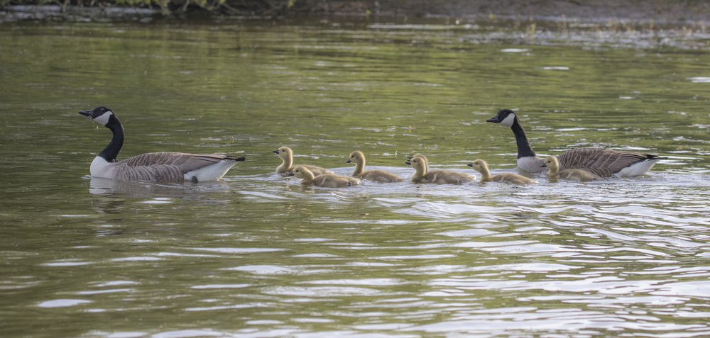 Canada Geese Family 9th May .jpg