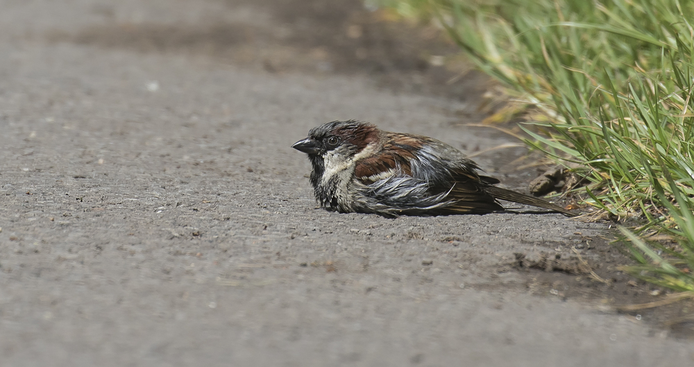 House Sparrow Sunbathing 9th May.jpg