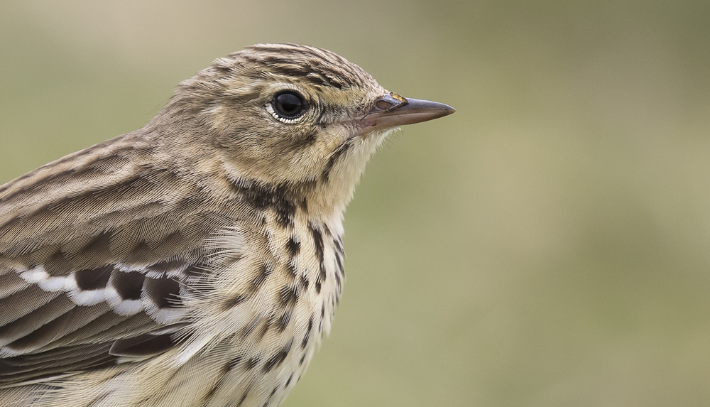 Meadow Pipit Crop 10th May.jpg