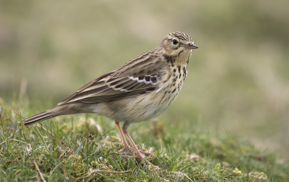 Meadow Pipit Full Frame 10th May.jpg