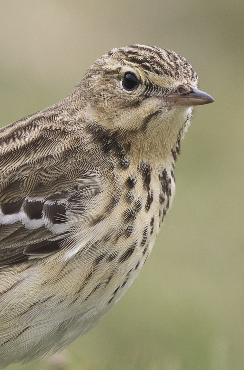 Meadow Pipit Portrait 10th May.jpg