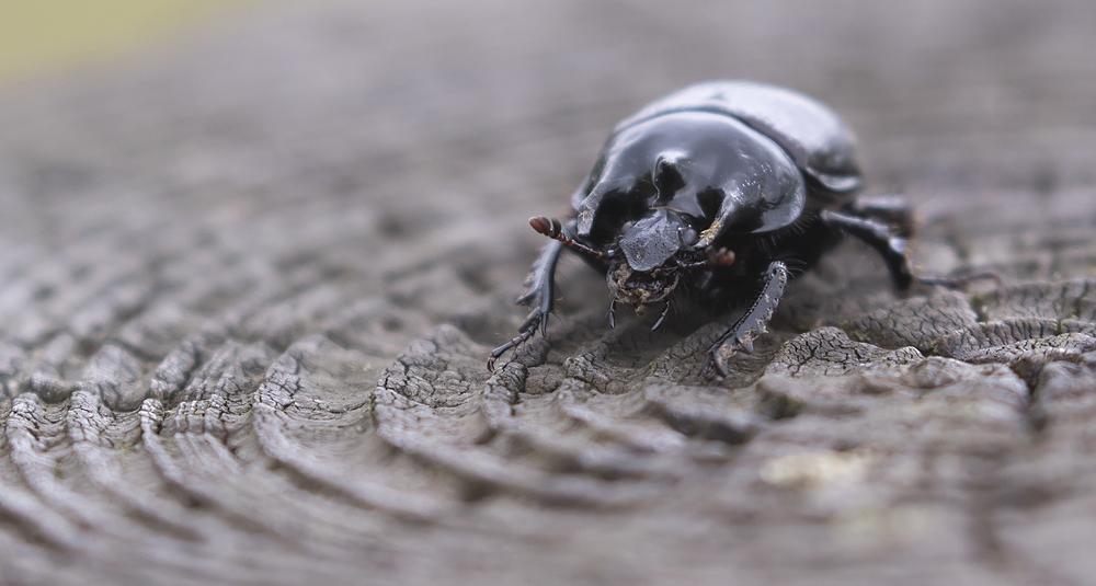 The Minotaur Beetle 10th May.jpg