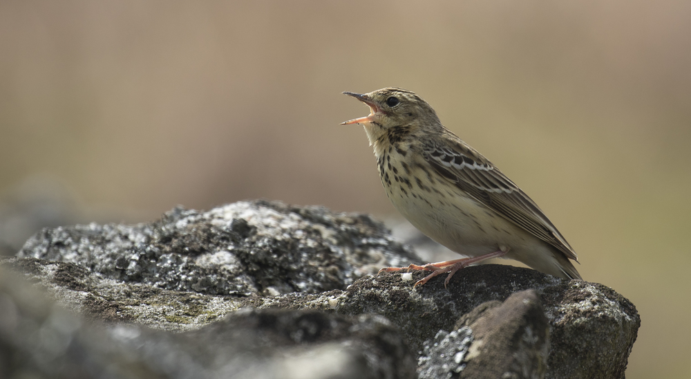Meadow Pipit Scene Singing 10th May.jpg
