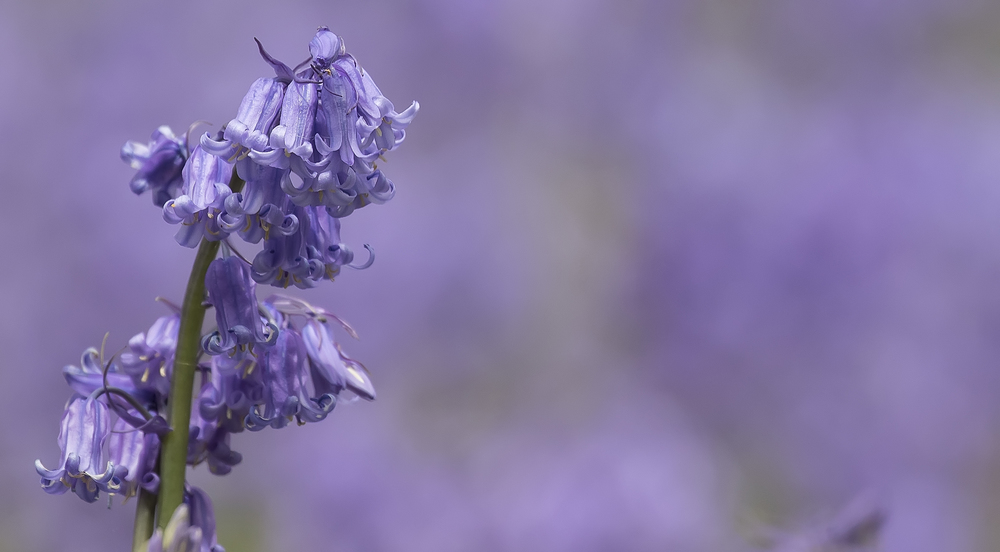 Bluebells 15th May.jpg