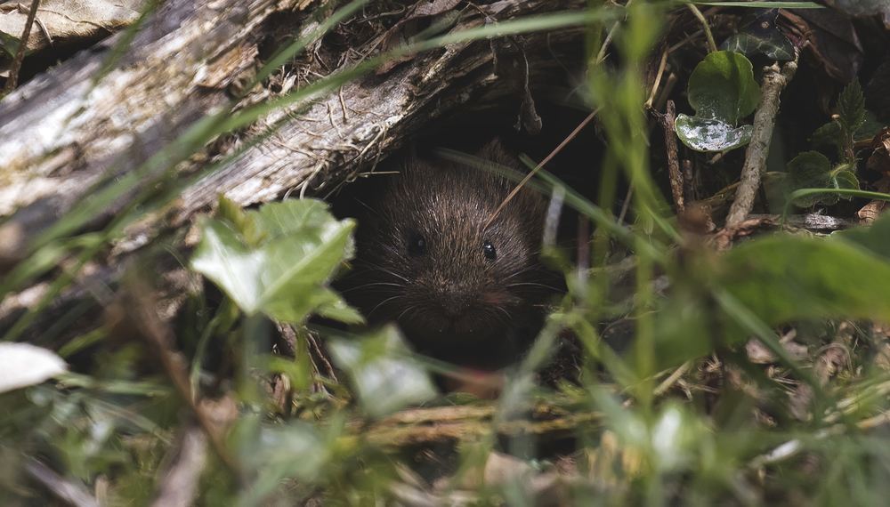 Bank Vole 16th May.jpg