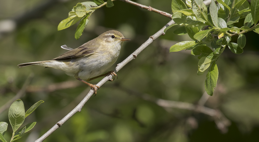 Willow Warbler 16th May.jpg