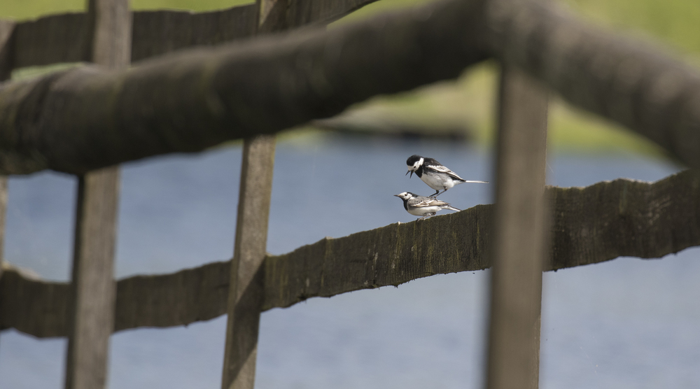 Pied Wagtails Mating 16th May.jpg