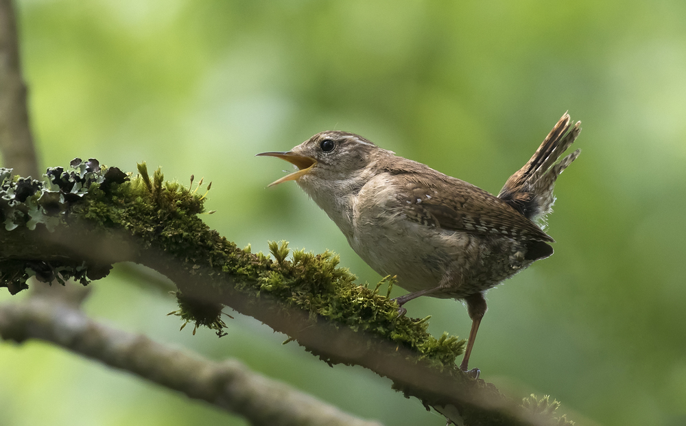 Singing Wren 16th May.jpg