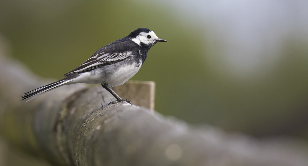 Pied Wagtail Fence 16th May.jpg