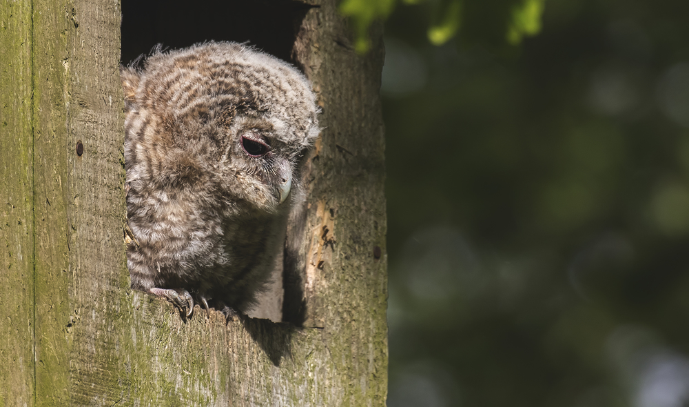Tawny Owl Chick 17th May copy.jpg