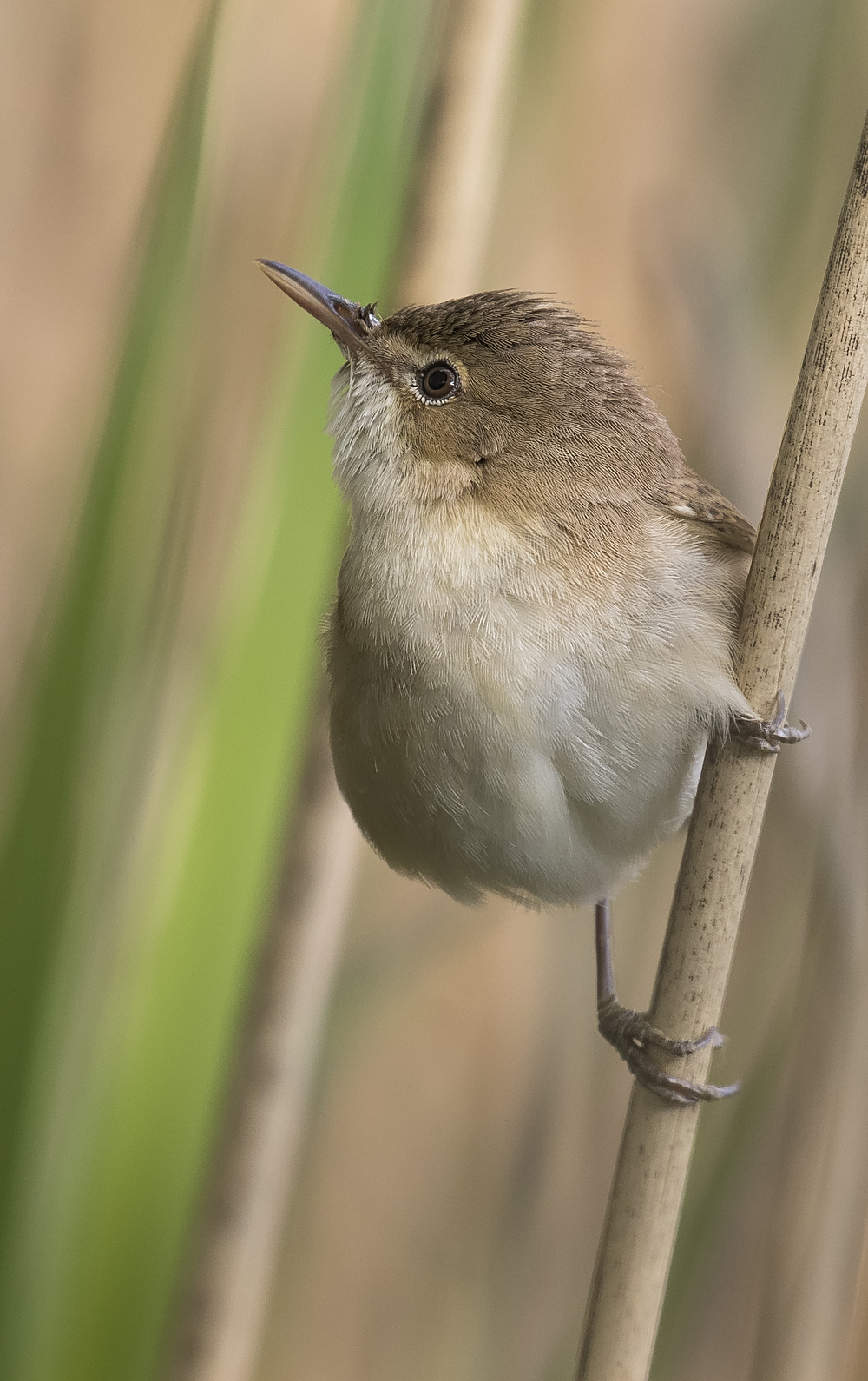 Reed Warbler Portrate 17th May.jpg