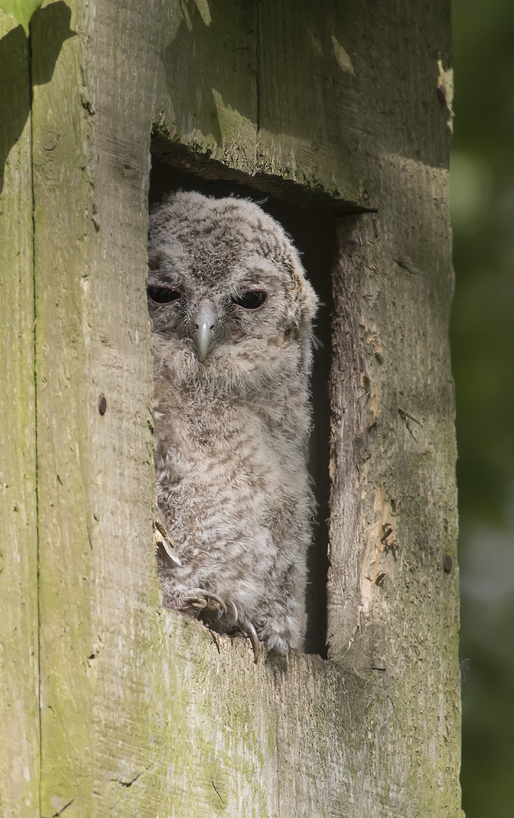 Tawny Owl Chick Portrate 17th May.jpg