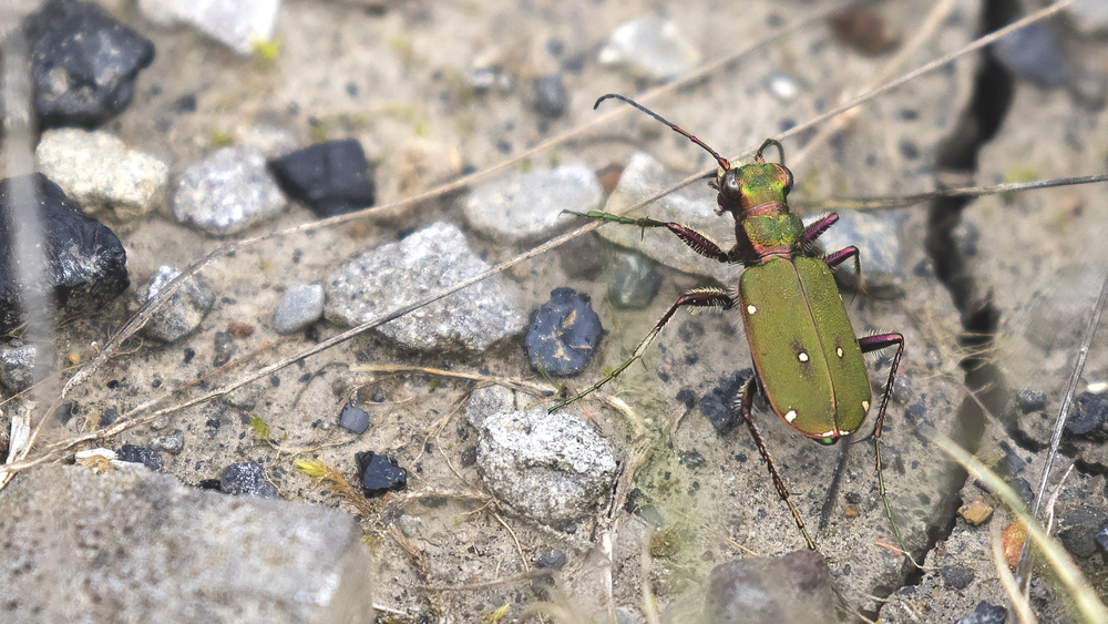 Green Tiger Beetle 25th May.jpg