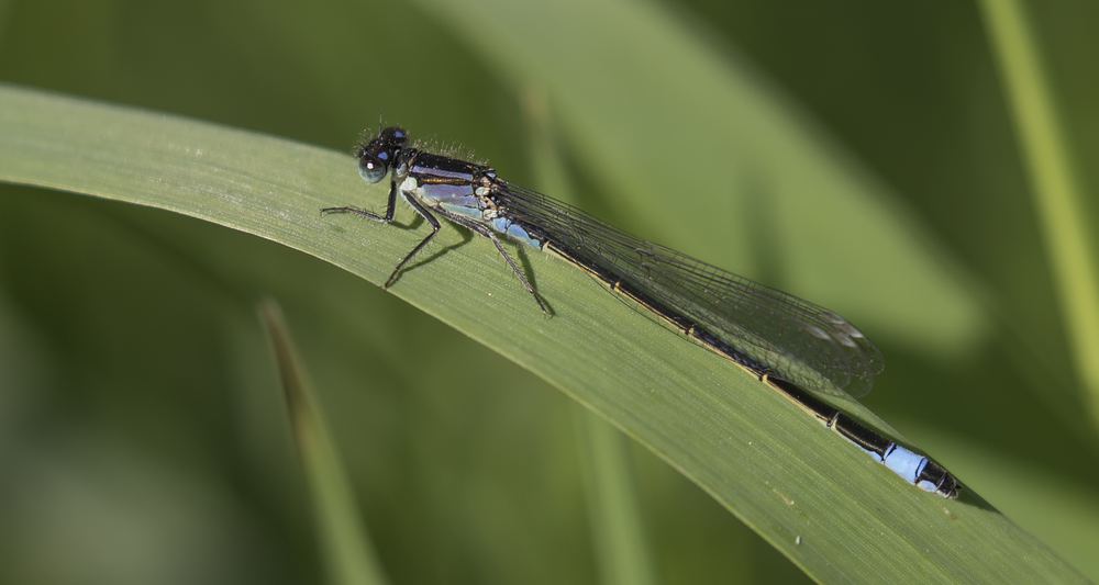 Blue-tailed Damselfly 26th May.jpg