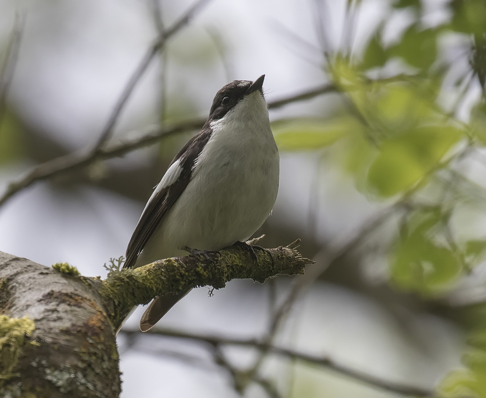 Pied Flycatcher Crop 28th May.jpg