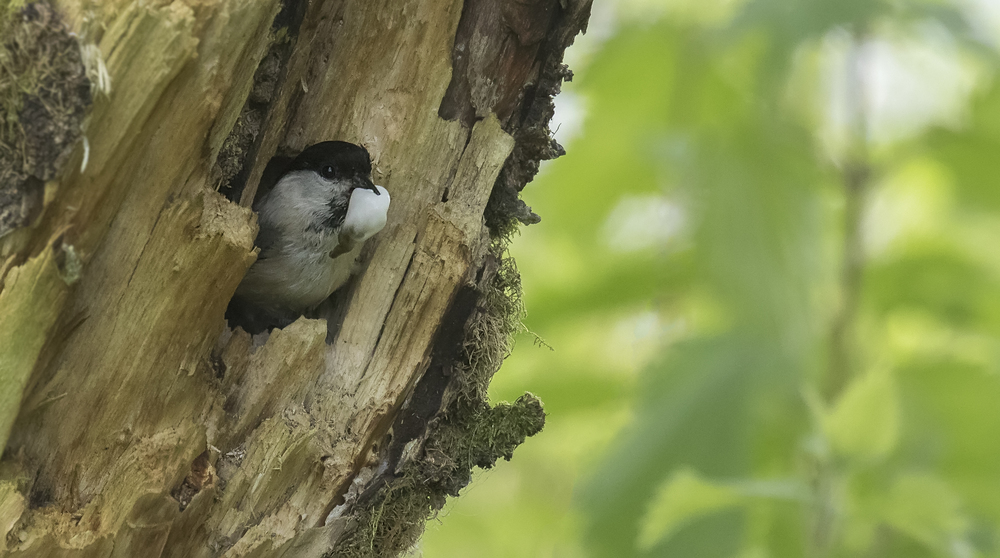 Willow Tit Home 2 29th May.jpg