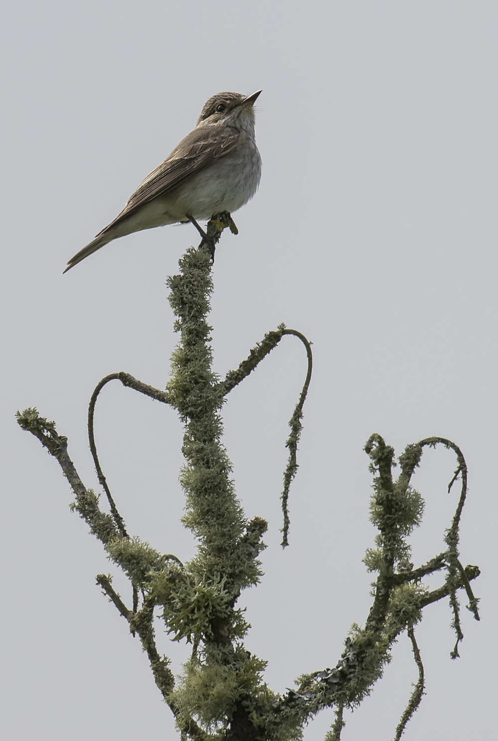 Spotted Flycatcher 28th May copy.jpg