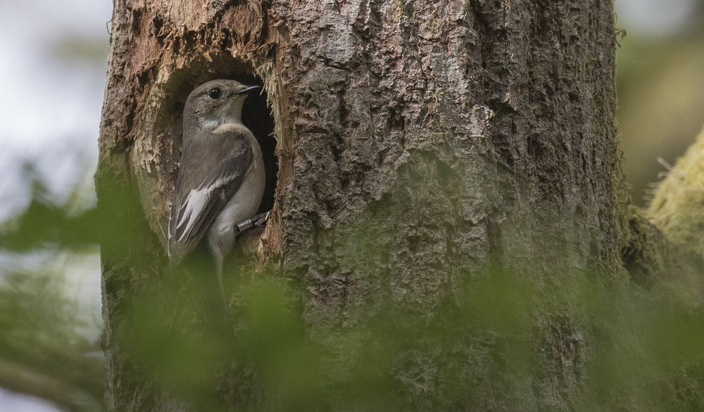 Pied Flycatcher Woodpecker Hole 28th May.jpg