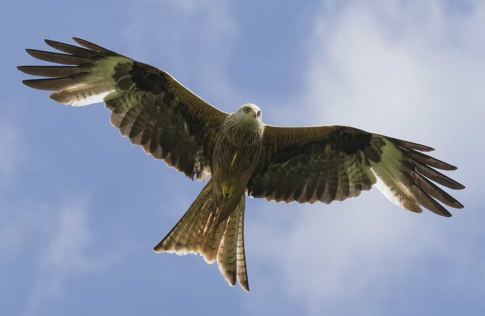 Redkite Blue Flight 28th May.jpg