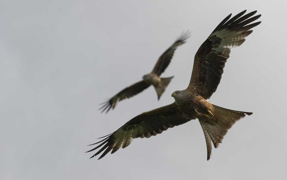 Redkite Double 28th May.jpg