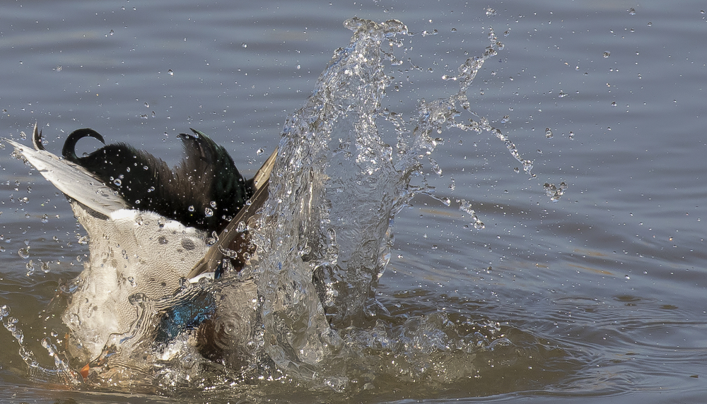 Mallard Splash 7th March.jpg