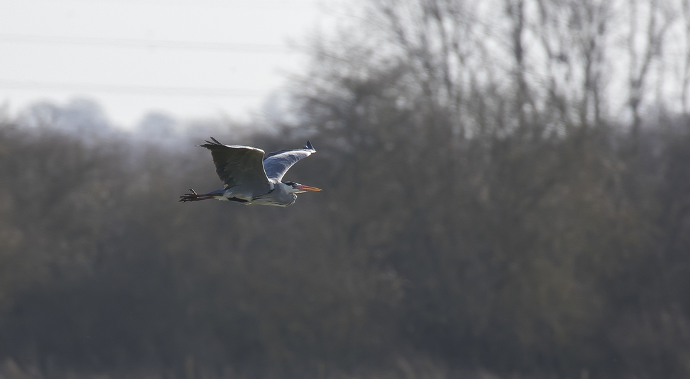 Grey Heron Flight 7th March.jpg