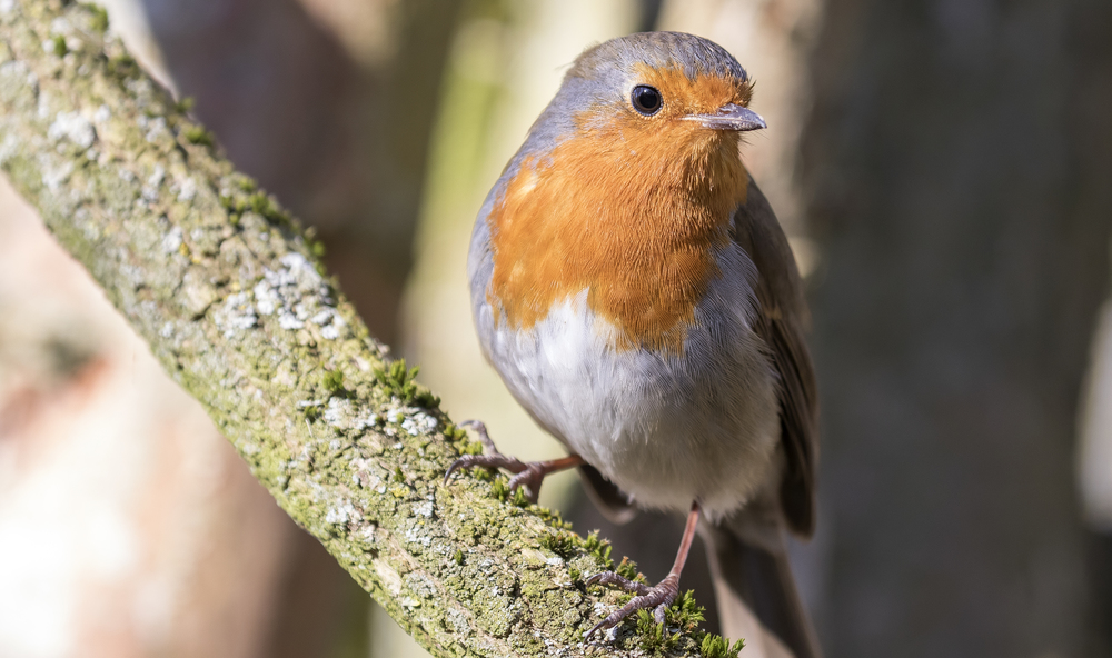 Robin Full 7th March.jpg