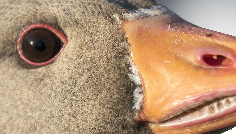 Greylag Goose Closeup.jpg