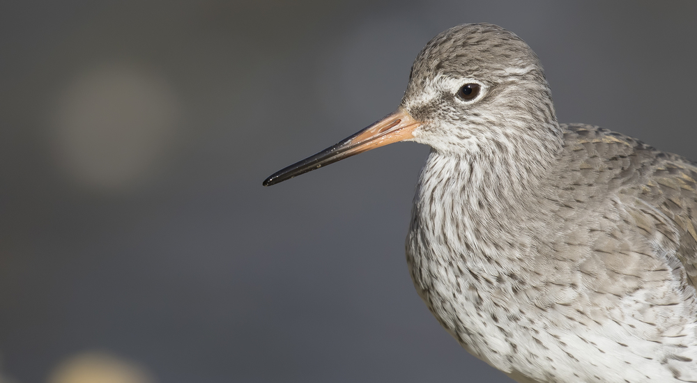 Redshank Crop 7th March.jpg